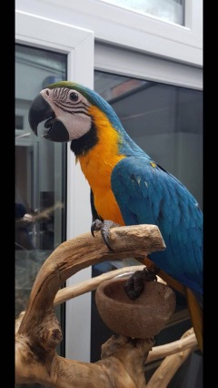 17 Weeks Hand Reared Blue And Gold Macaw Baby