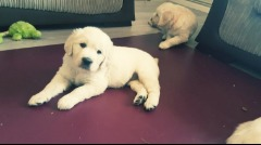%%%%¤¤¤¤Gorgeous Retriever puppies. Full AKC registration. Current Shots%%%