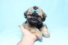 Teacup & Toy Shih Tzu Puppies Available Now! www.PuppyHeaven.com