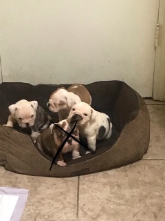 English Bulldogs with AKC paperwork for sale