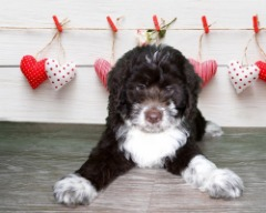BERNESE MOUNTAIN DOG/MINIATURE POODLE