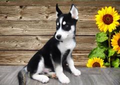 Spunk little Siberian Husky! (MALE)