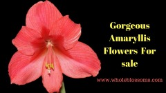 Purchase Amaryllis Christmas Flowers from Whole Blossoms