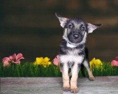 Male Purebred German Shepherd Dog
