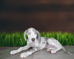 Mila is a papered female Great Dane