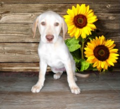 AKC Female Labrador Retriever Yellow! 15 weeks