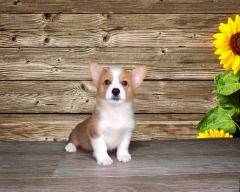 Adorable Male Pembroke Welsh Corgi