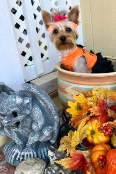AKC ADULT YORKIE FEMALE