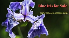 Purchase purple, white, yellow iris at an effective cost
