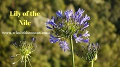 Buy gorgeous & fresh agapanthus flower for Sale