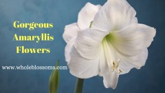 Order Wonderful Colors of Amaryllis Flowers in Your Budget