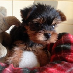Adorable Teacup Yorkie Puppy