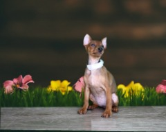 Miniature Pinscher Papered Micro-chipped Female