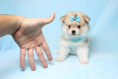 Tiny Teacup Pomeranian Puppies In Los Angeles Available Now