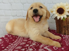 Adorable outstanding Golden Retriever puppies