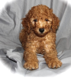 Nice and Healthy Poodle Puppies Available