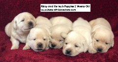 AKC Labrador Puppies
