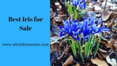 Purchase amazing iris flower for Sale at effective prices