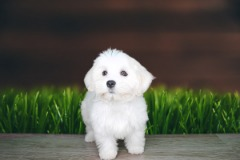 Take a chance with this purebred Havanese Male