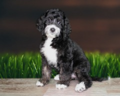 Bernedoodle Female Microchipped/Papered