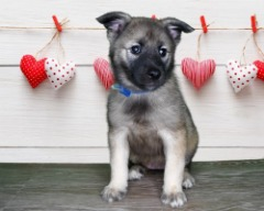 Rare Female Norwegian Elkhound!