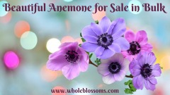 Order Anemone Flower Colors for Sale in Bulk