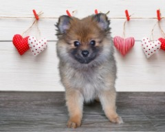 Registered Female Pomeranian
