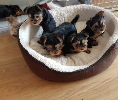 Yorkie Puppies