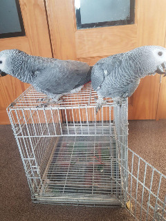 TAMED MALE AND FEMALE  AFRICAN GREY BIRDS