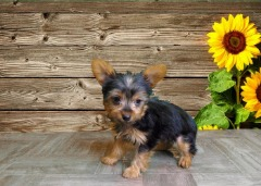 Female Yorkshire Terrier!
