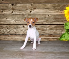 Jack Russell Terrier Female