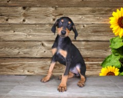 Doberman Pinscher 17 wks old Female