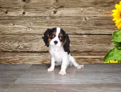 Cavalier King Charles Spaniels Male