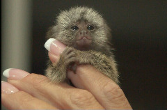 baby marmoset monkey for quick adoption, pick up only