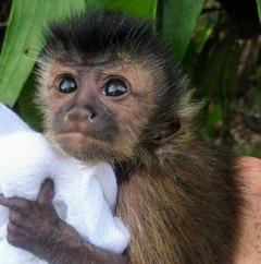 Jake the capuchin monkey very friendly
