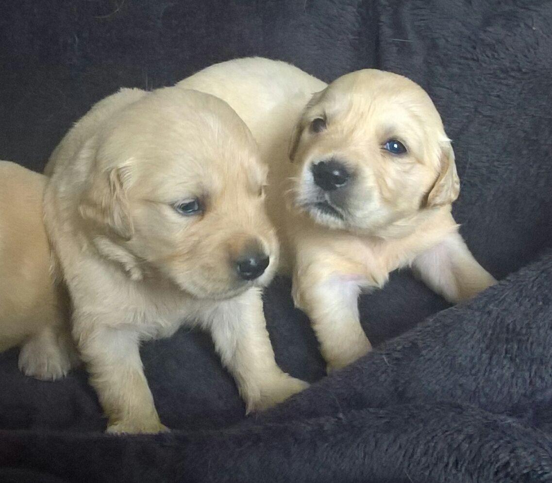 Pennysaver Golden Retriever Puppies Text 540 418 0760 In Miami