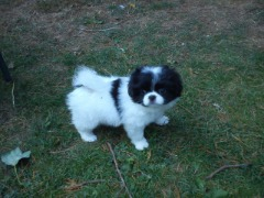 Akc Registered Male And Female Japanese Chin Puppies for sale