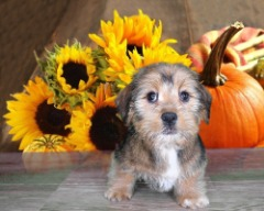 This Shiween is a Shih Tza and Dachshund Mix!