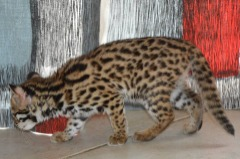 20% Discount F1 Savannah And Bengal Kitten Available