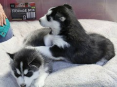 Dsagh Husky Puppies For Sale