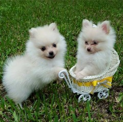 Dsagh Pomeranian  Puppies For Sale