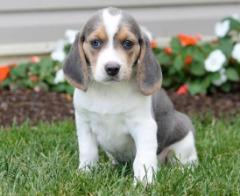 Dsagh Beagle Puppies For Sale