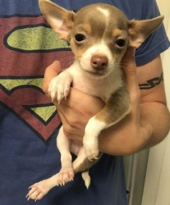 Dsagh Chihuahua Puppies For Sale