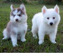 Dsagh Pomsky  Puppies For Sale