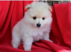 Dsagh Pomeranian  Puppies For Sale