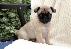 Zsagh Pug Puppies For Sale