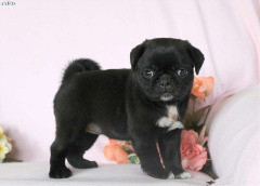 Uagh Pug Puppies For Sale
