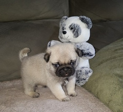Qsagh Pug Puppies For Sale