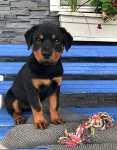 Pennysaver Boxerrottweiler Mix Puppies 8 Wks Old In Los Angeles