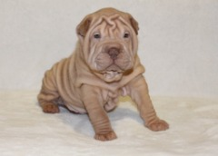 Shar-Pei Puppies Available